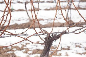 Vines in Winer-Pat Anderson