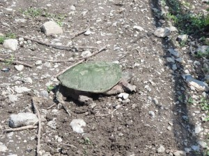 Hillier Creek Estates  a Snapping Turtle IMG_2954