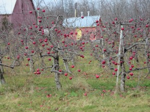 Apples for Ice Cider - Waupoos Winery Dec 2015 IMG_3316